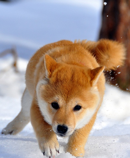 pictures of cute baby animals - shiba puppy