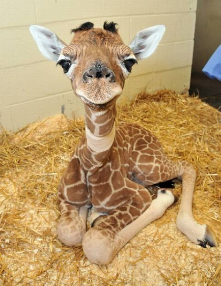 pictures of cute baby animals - giraffe