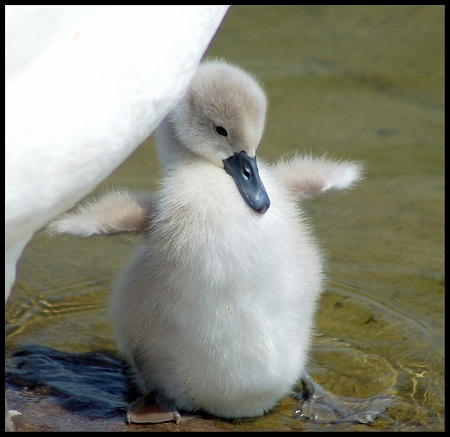 pictures of cute baby animals - cygnet