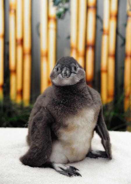 pictures of cute baby animals - newborn penguin