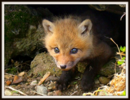 pictures of cute baby animals - brave baby fox