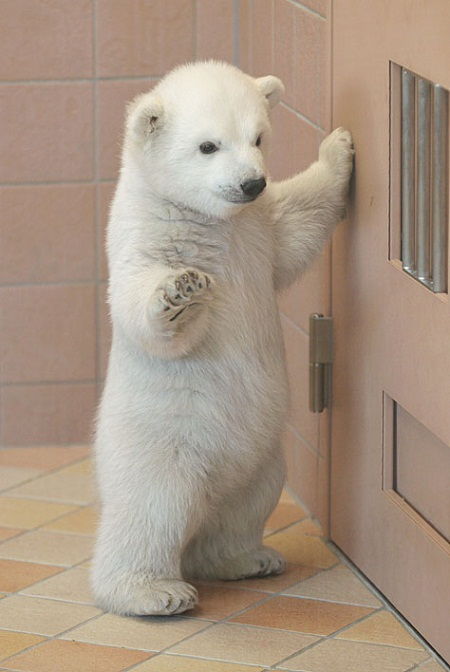 pictures of cute baby animals - polar bear