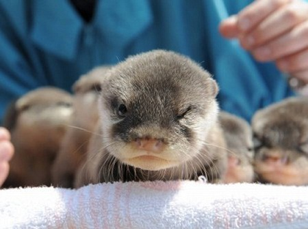 pictures of cute baby animals - evil ottertude