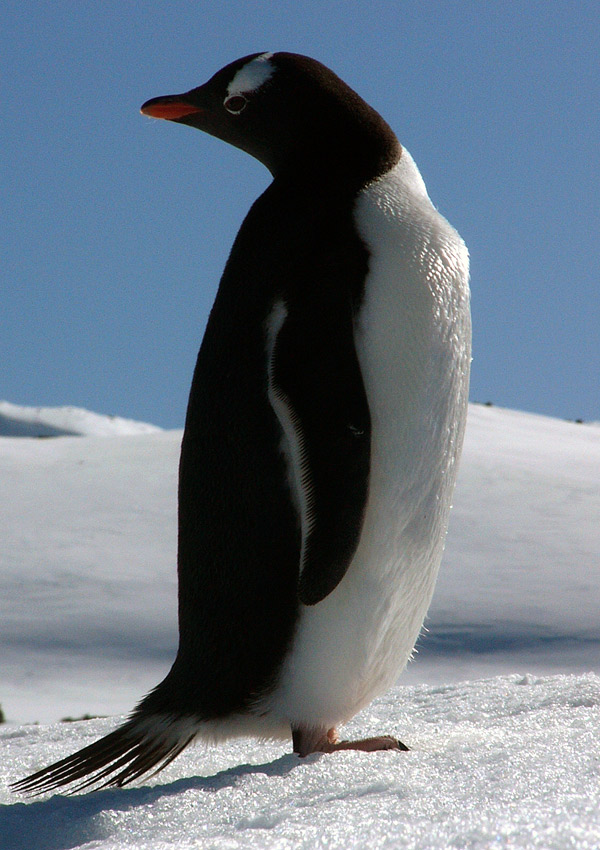 Do penguins have feathers - photo#6